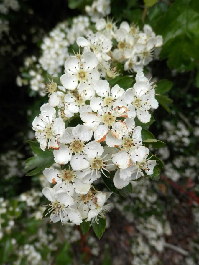 Closeup of white hawthorn flower royalty free stock images