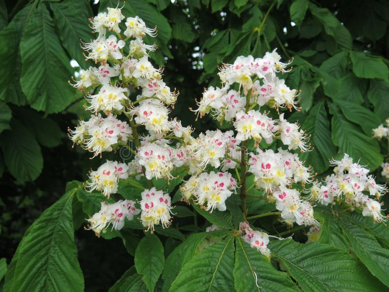 Closeup of white horse chestnut flower royalty free stock photography