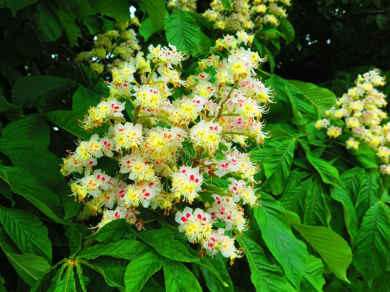 Closeup of white horse chestnut flower royalty free stock image