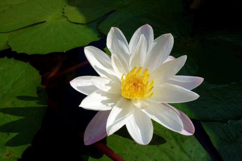 Closeup of White Lotus in Full Bloom royalty free stock photo