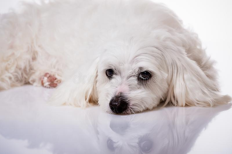Closeup white maltese dog lying and looking in camera royalty free stock photography