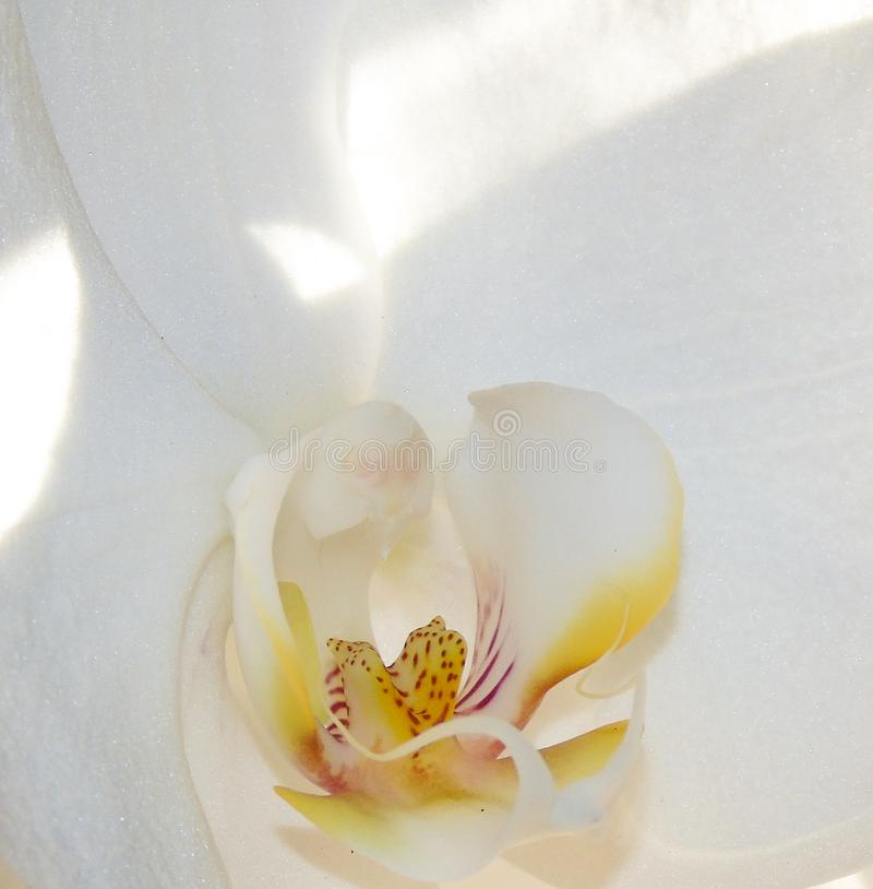 Closeup of white orchid flower, beautiful plant royalty free stock photo