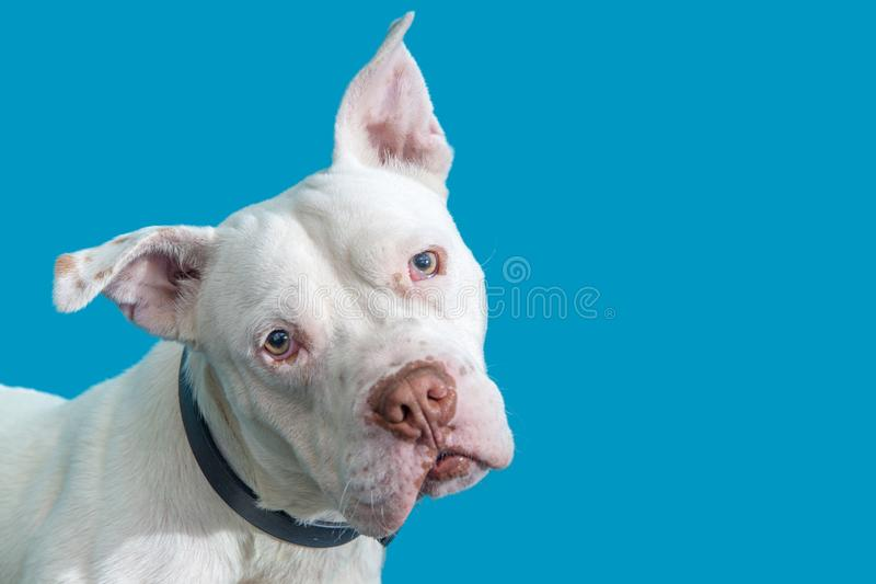 Closeup White Pit Bull Dog Blue Background. Closeup photo of a large white color Pit Bull dog over blue background royalty free stock images