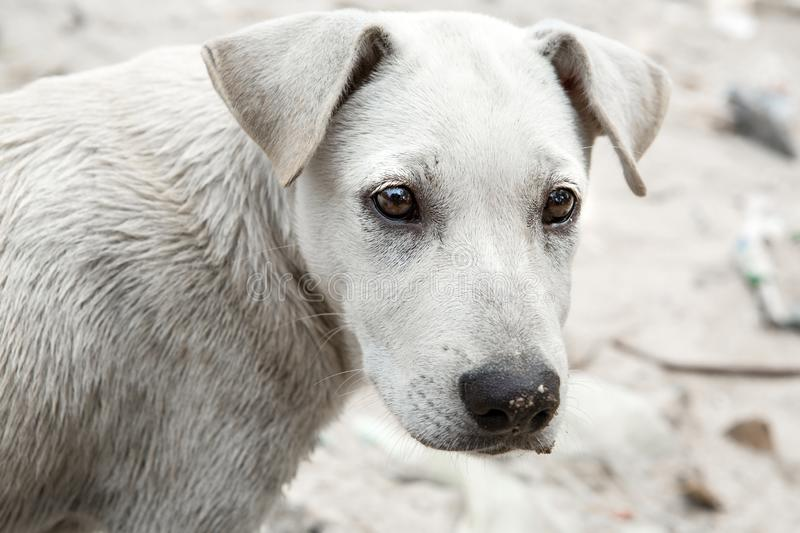 Closeup of white puppies that are not owned and dirty. Closeup of white puppies that are not owned and dirty royalty free stock photography