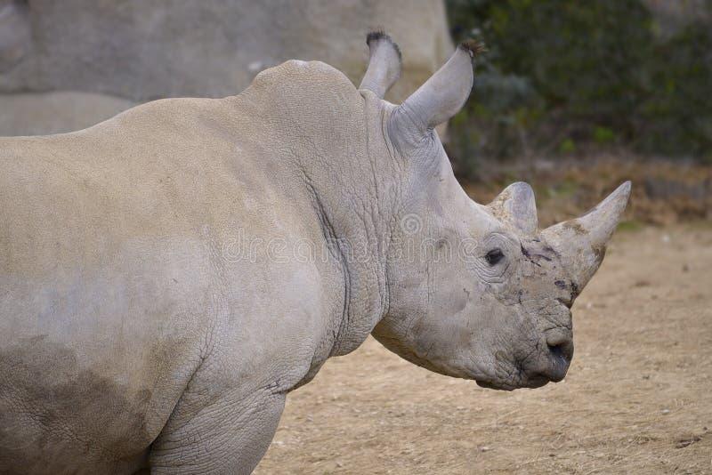 Closeup of white rhinoceros. Or square-lipped rhinoceros (Ceratotherium simum stock images