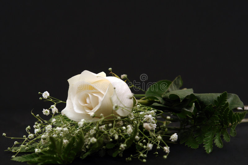 Download Closeup of a White Rose stock image. Image of soft, white - 1863491