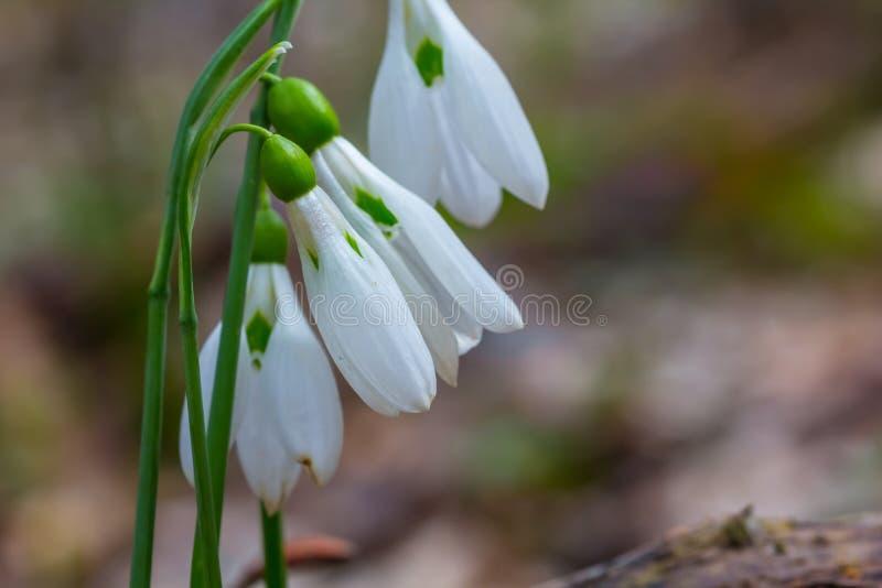 Closeup white snowdrop bush royalty free stock image