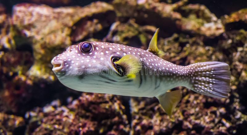 Closeup of a white spotted puffer fish swimming in the water, tropical fish from the Red sea and the indo-pacific ocean royalty free stock photo