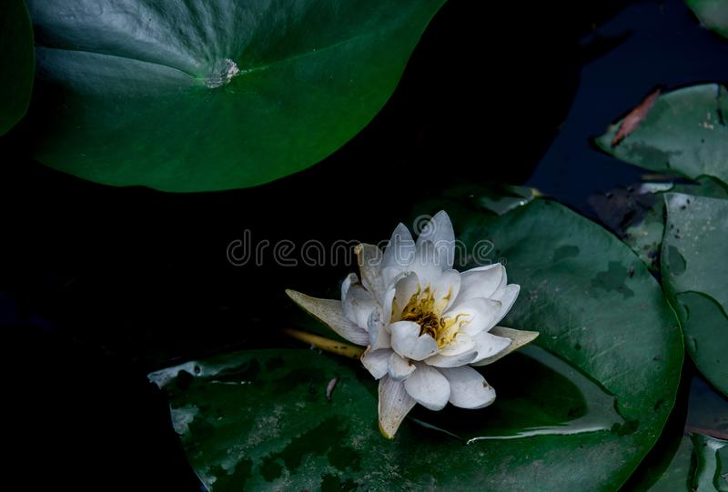 Closeup of white water lily royalty free stock photography