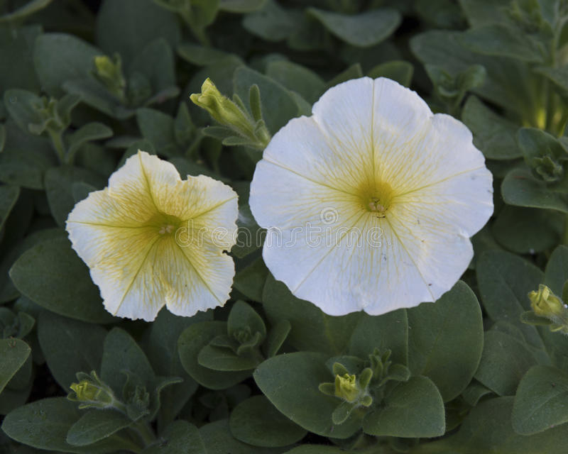 Closeup of white waterfall madness petunia. Pictured is a closeup of white waterfall madness petunia blooms and buds. The scientific name is Petunia x hybrida stock images