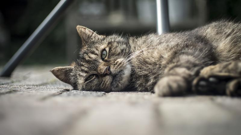 Closeup wide shot of an adult old domestic cat laying on the wooden porch and looking at the camera royalty free stock image