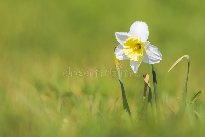 Closeup of wild daffodil flower or Lent lily, Narcissus pseudonarcissus, blooming in a meadow during Springtime season royalty free stock photography