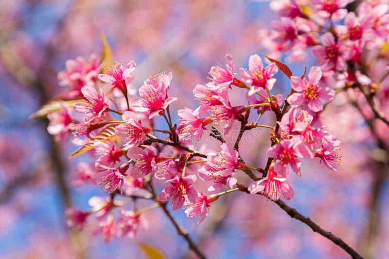 Closeup of Wild Himalayan Cherry Prunus cerasoides or thai sakura flower at khun chang kian, Chiang Mai, Thailand.  stock photo