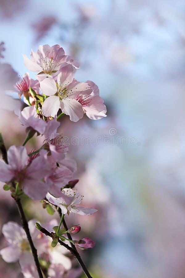 Closeup of Wild Himalayan Cherry or thai sakura flower in field at winter or spring day royalty free stock image