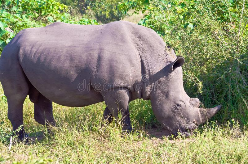 Rhino, closeup of a wild Rhino, Rhinoceros, in South Africa royalty free stock photography