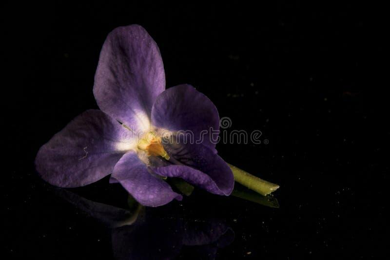 Wild Violet  stock image