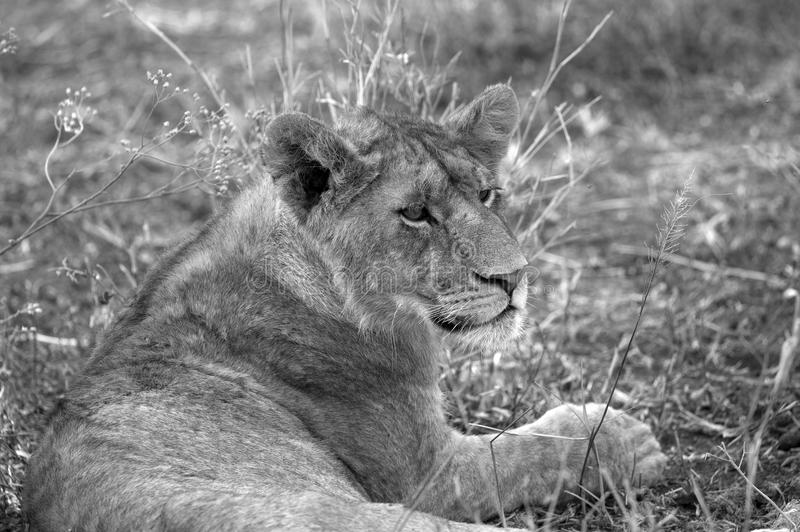 Wild young lion. Closeup of a wild young lion, black and white image royalty free stock image