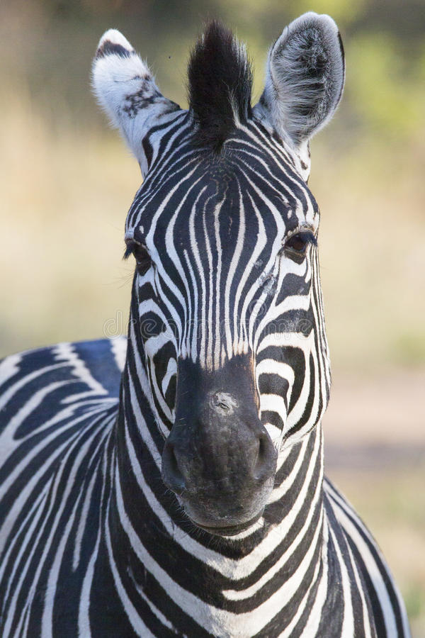Closeup of wild zebra royalty free stock image