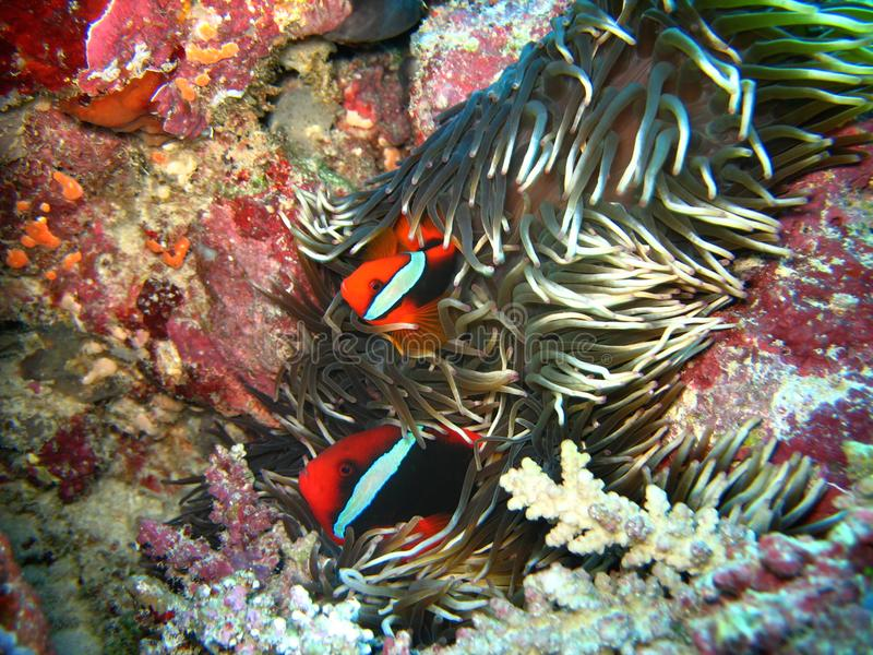 Closeup wildlife photo of two red clown fishes are coming out from the anemone. stock photo