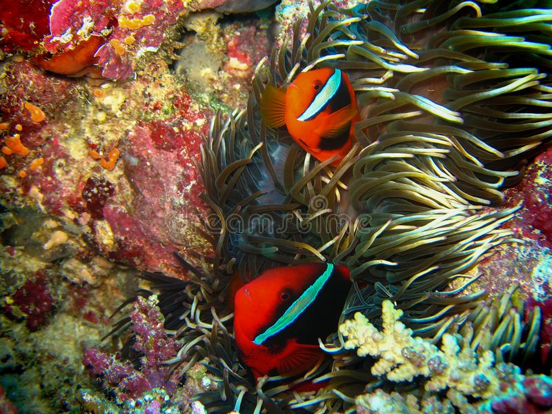 Closeup wildlife photo of two red clown fishes are coming out from the anemone. Colorful corals are on the background. Photo taken at night with flesh light royalty free stock images