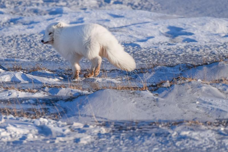 Closeup wildlife white polar fox winter in the Arctic Svalbard. On a sunny day royalty free stock photography