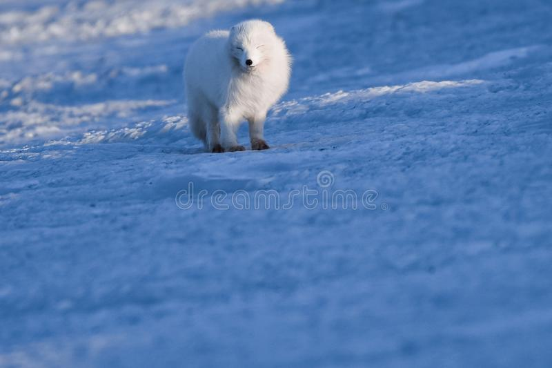 Closeup wildlife white polar fox winter in the Arctic Svalbard. On a sunny day stock image