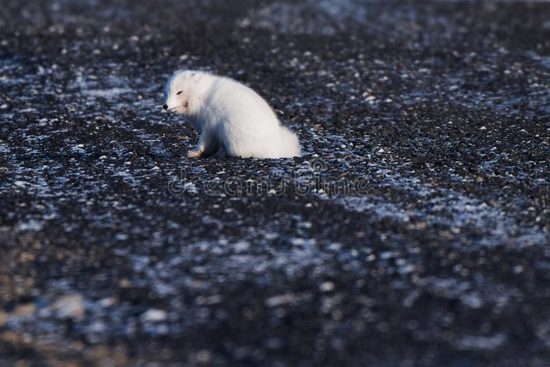 Closeup wildlife white polar fox winter in the Arctic Svalbard. On a sunny day royalty free stock photo