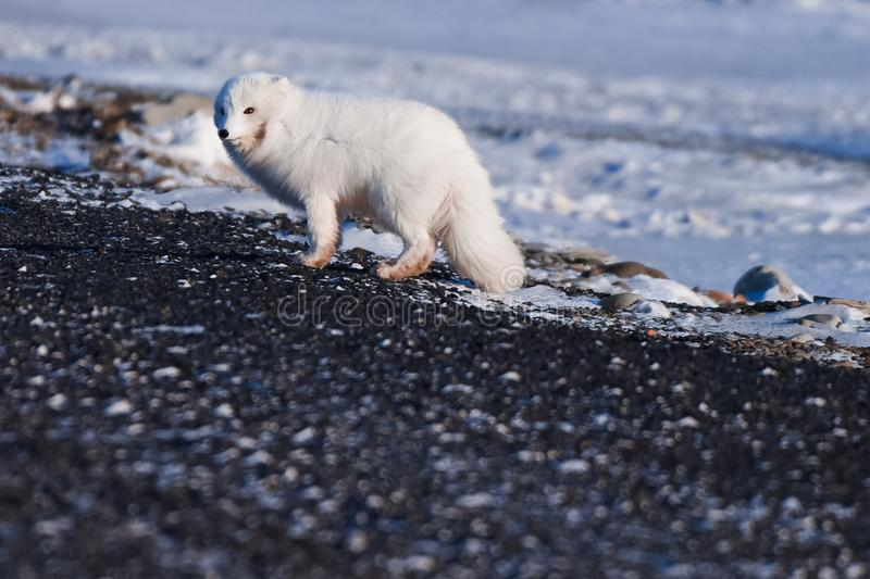 Closeup wildlife white polar fox winter in the Arctic Svalbard. On a sunny day royalty free stock images