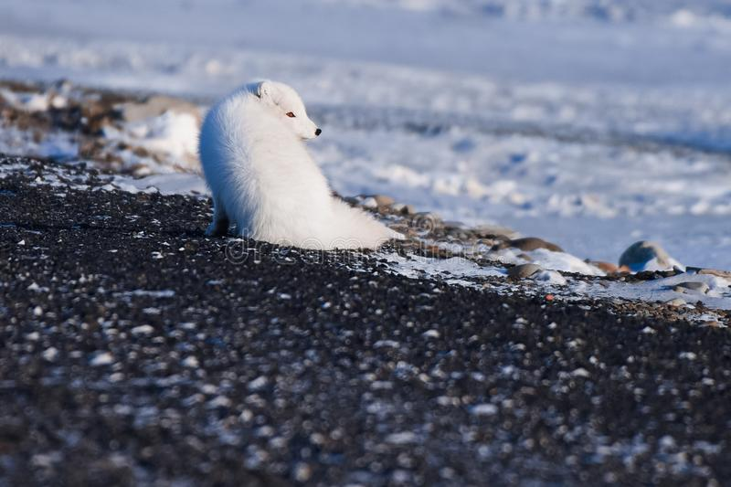 Closeup wildlife white polar fox winter in the Arctic Svalbard. On a sunny day stock photo