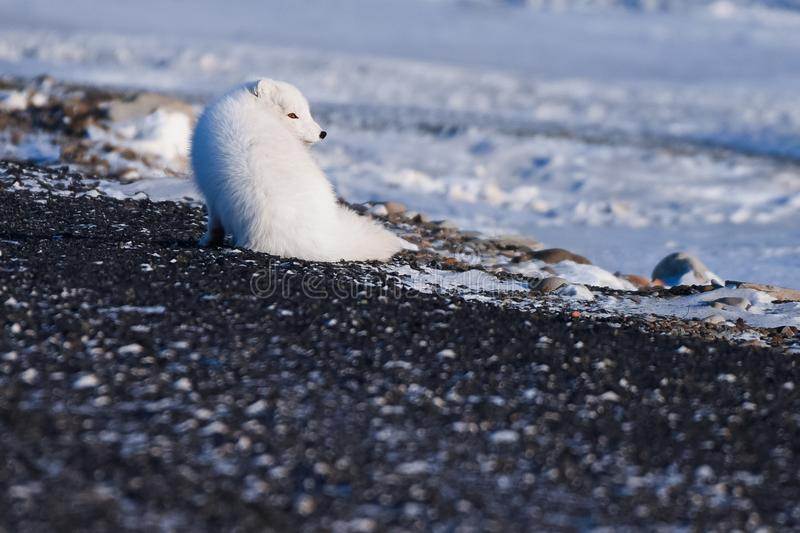 Closeup wildlife white polar fox winter in the Arctic Svalbard. On a sunny day stock images