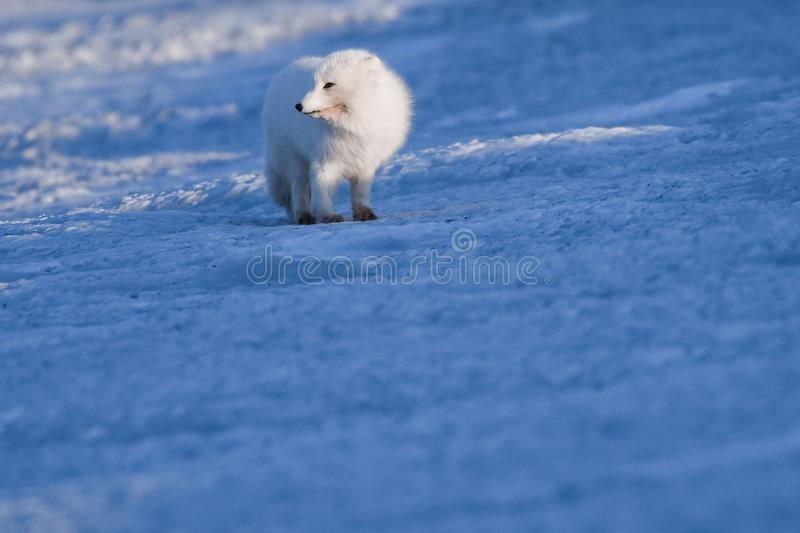 Closeup wildlife white polar fox winter in the Arctic Svalbard. On a sunny day royalty free stock photos