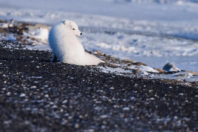 Closeup wildlife white polar fox winter in the Arctic Svalbard. On a sunny day stock photography