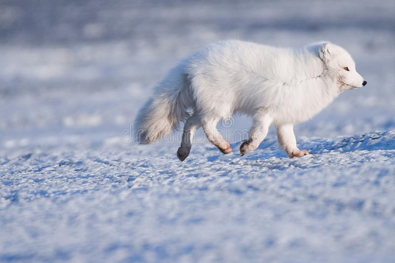 Closeup wildlife white polar fox winter in the Arctic Svalbard. On a sunny day stock photos