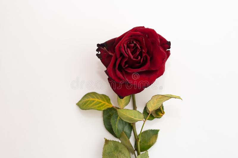 Closeup of withered and dried red rose on white background. Design concept. Copy Space royalty free stock images