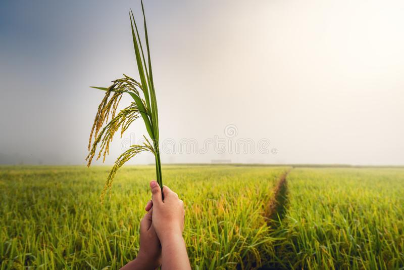 Closeup woman hands is holding bundle rice in the rice fields at sunrise scene., Beautiful plantation with rice farm in morning stock image