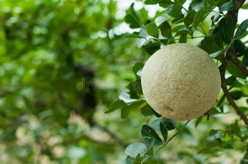 Closeup of wood-apple or Makwid stock image