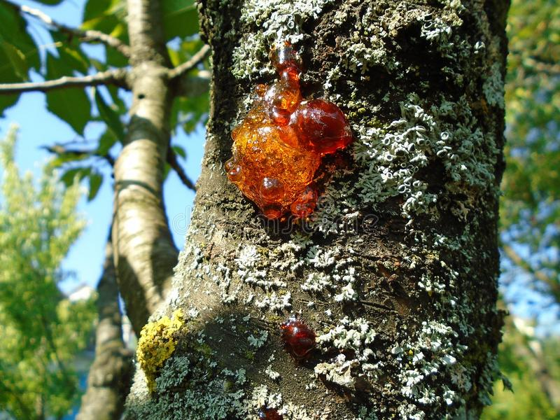 Closeup with shiny wood resin and grey moss on a tree stock photography