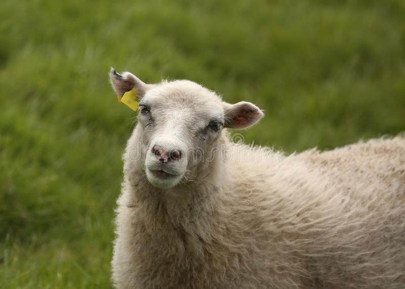 Closeup of a sheep stock image