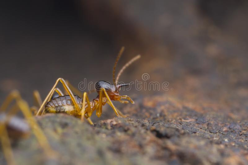 Closeup worker termite on the ground royalty free stock photography