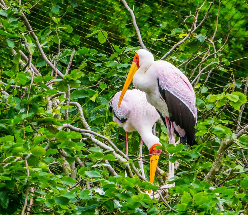 Closeup of a yellow billed stork standing in its nest in a tree, tropical Bird from Africa stock images