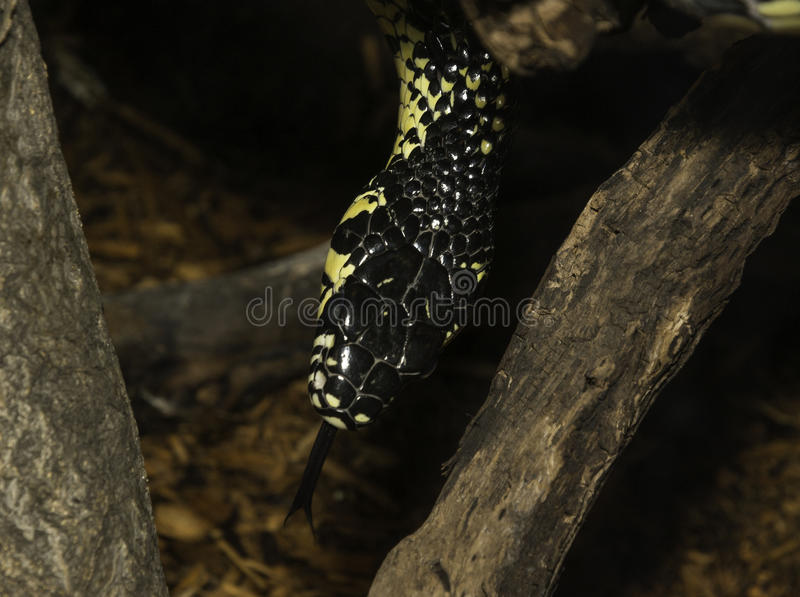 Closeup of yellow and black snake with forked tongue. Slithering between tree branches royalty free stock photos