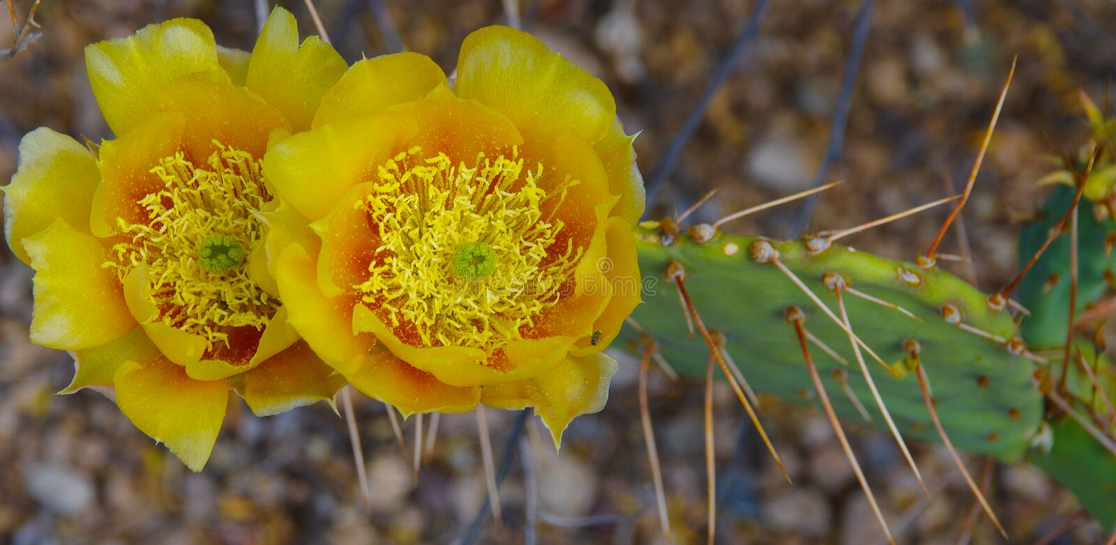 Closeup of yellow blossoms with abundant pollen on a prickly pear cactus stock images