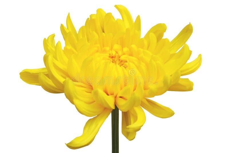 Yellow Chrysanthemum Flower Isolated on White Background. Closeup of Yellow Chrysanthemum Flower Isolated on White Background stock image