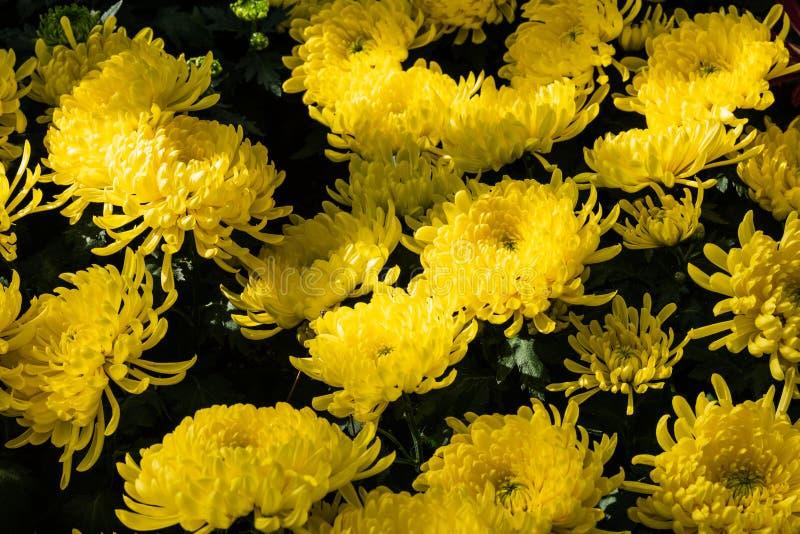 Yellow mums flowers stock image image of illustration 113768135 download yellow mums flowers stock image image of illustration 113768135 mightylinksfo