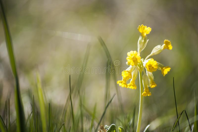 Download Closeup Of Yellow Cowslips Primula Veris Blossoms In Sunlight Stock Image