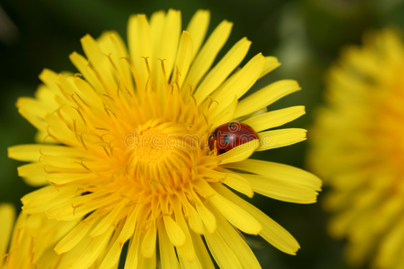 Closeup of a Yellow Dandalion with a Ladybug on it. royalty free stock image