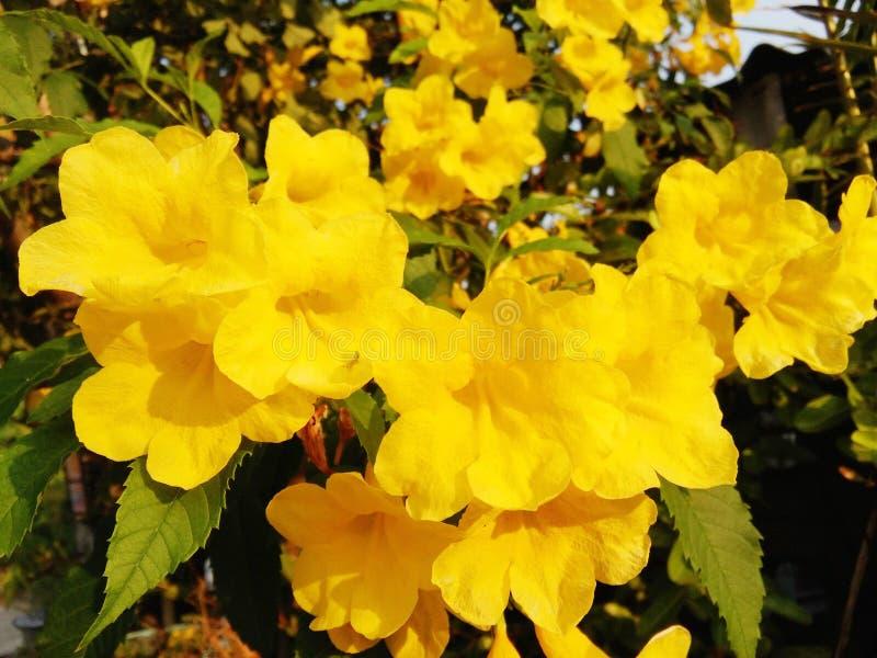 Closeup Yellow elder or Trumpetbush or Trumpetflower. Or Yellow Trumpet-flower or Yellow trumpetbush stock photography