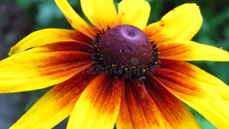 Rudbeckia hirta. Gazania. Closeup of black eyed susans yellow garden flowers blooming outdoors. stock images