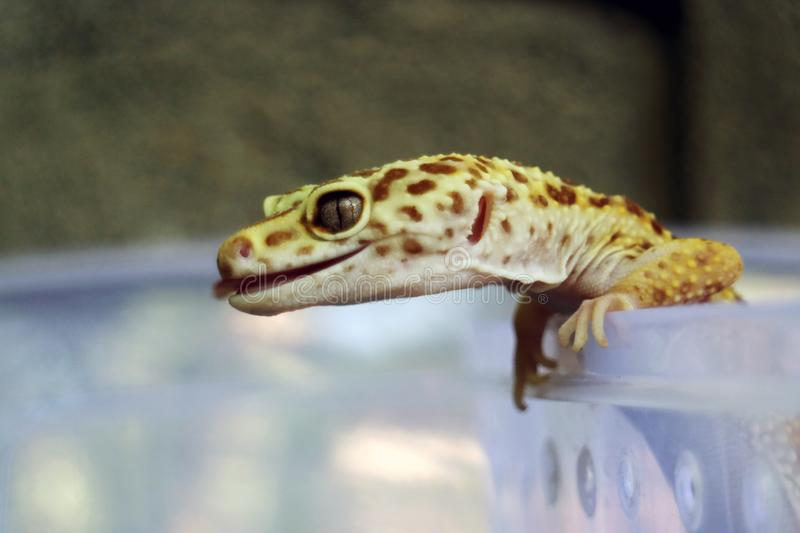 Closeup of Yellow Gecko Stick Out Her Tongue royalty free stock photos