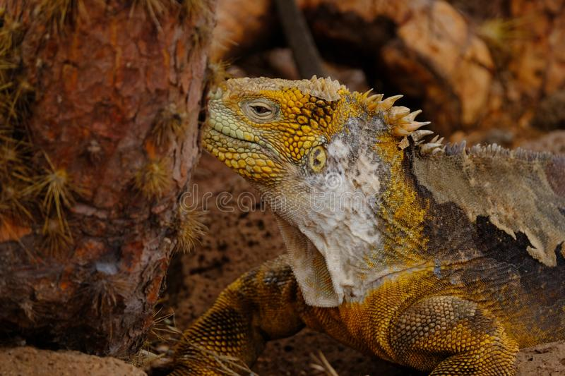 Closeup of a yellow iguana looking towards a tree with blurred background stock photos
